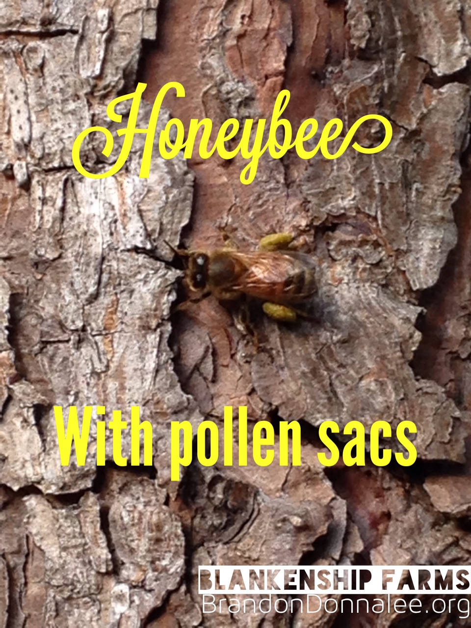 Our Bees are Busy Carrying Pollen Baskets!
