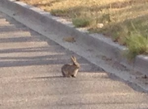 wyoming rabbit